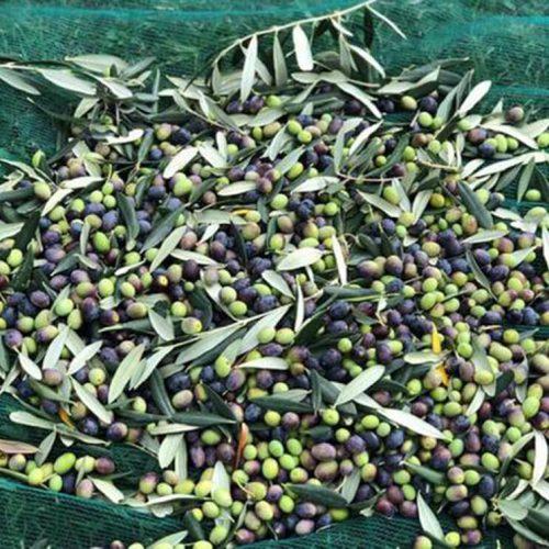 Olijfbomen oogst Di Lorenzetto olijfolie