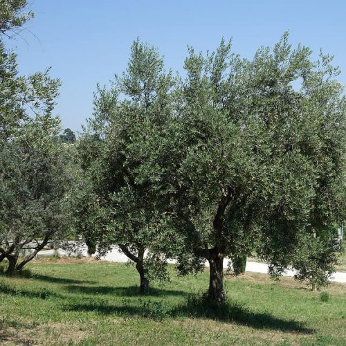 Olijfboomgaard Di Lorenzetto olijfolie